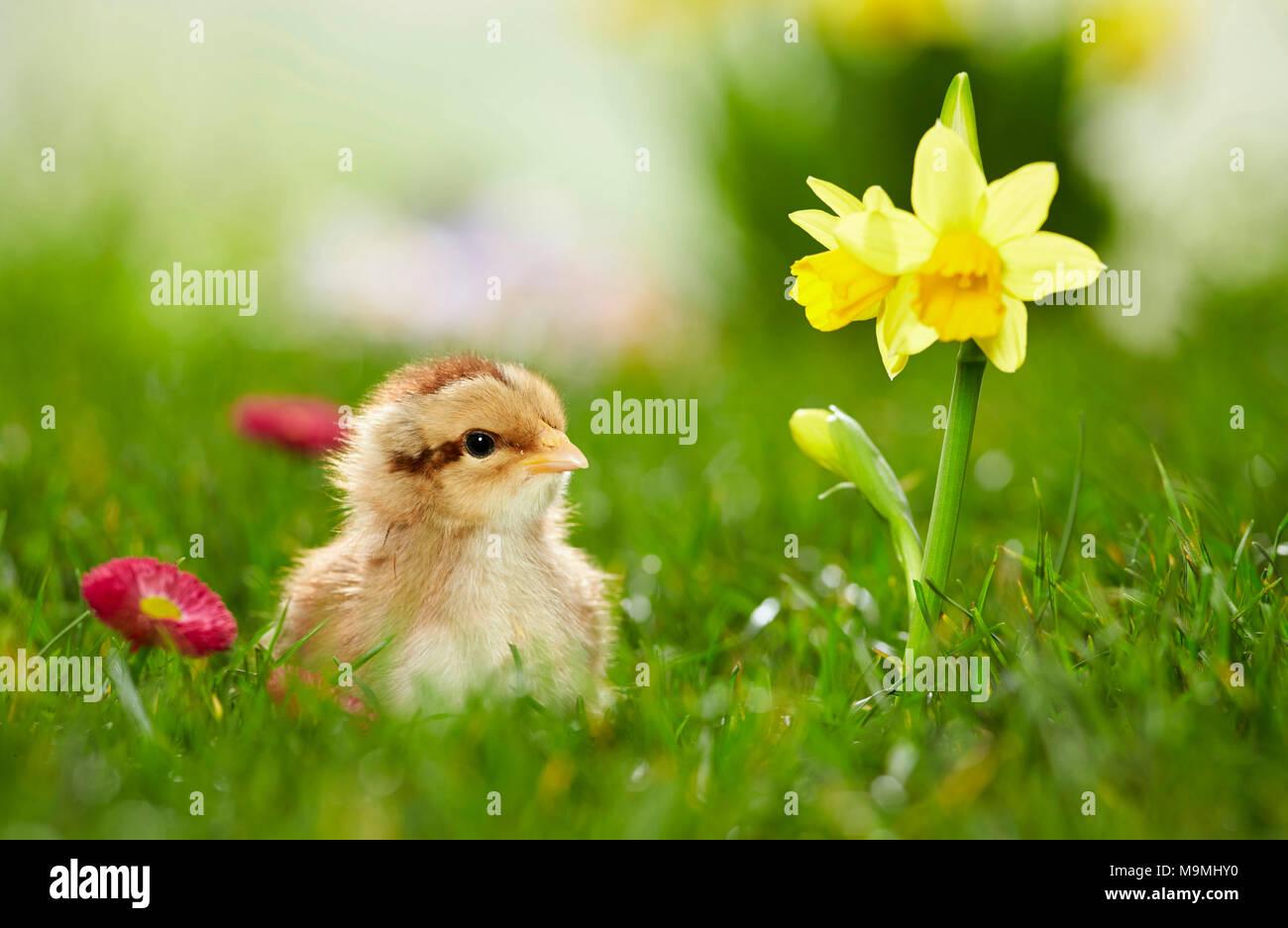 Welsummer Chicken. Chicken in flowering meadow in spring. Germany - Stock Image