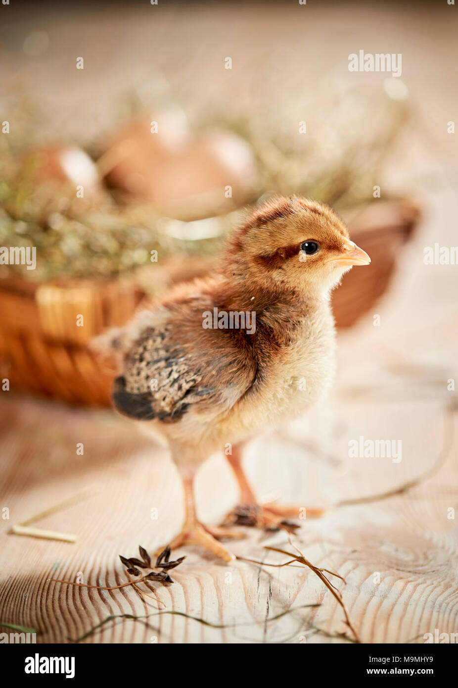 Welsummer Chicken. Chicken standing on wood, in front of nest with eggs. Germany Stock Photo