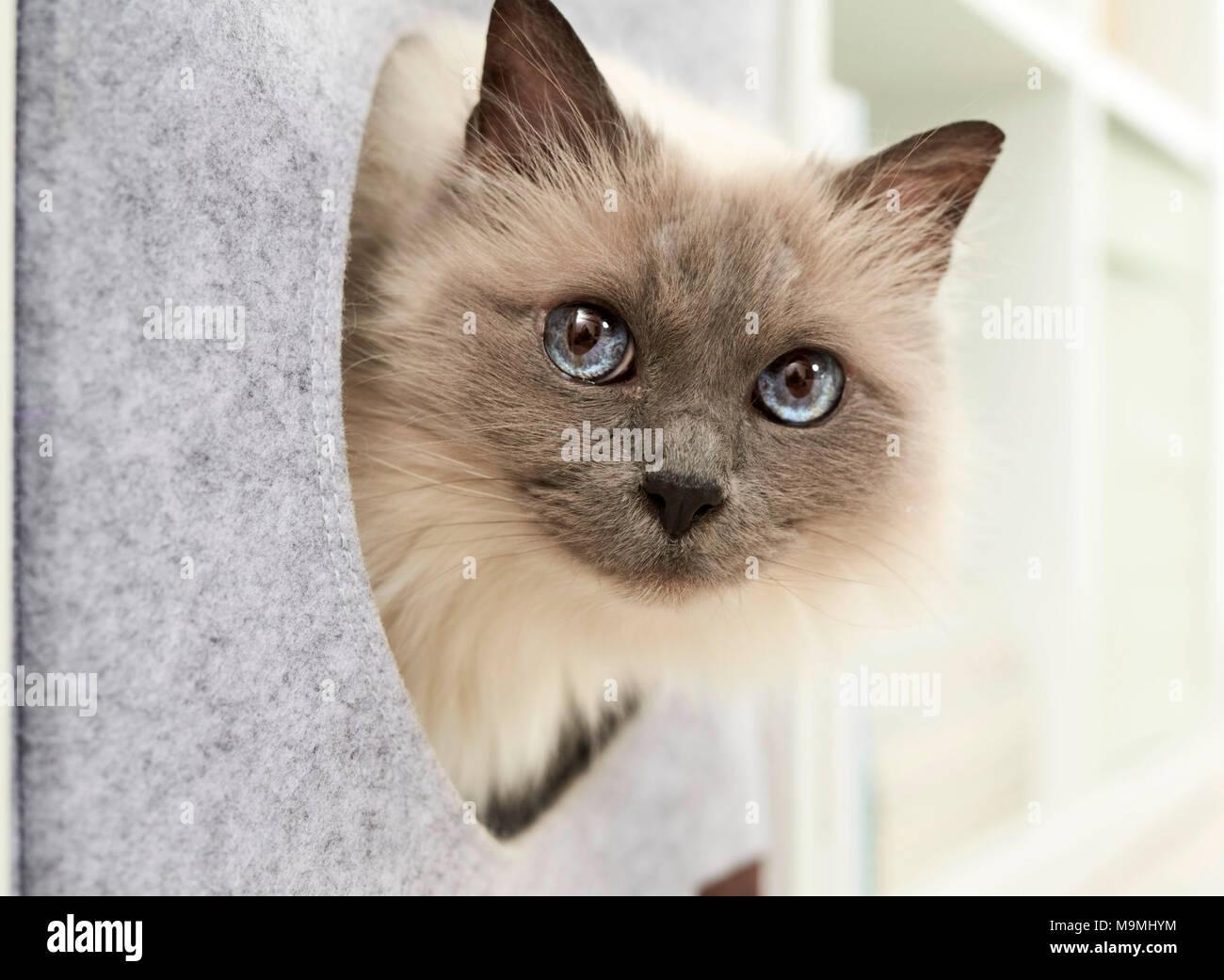 Sacred Birman, Birman. Adult cat in a felt den, fitting into a shelf. Germany. - Stock Image