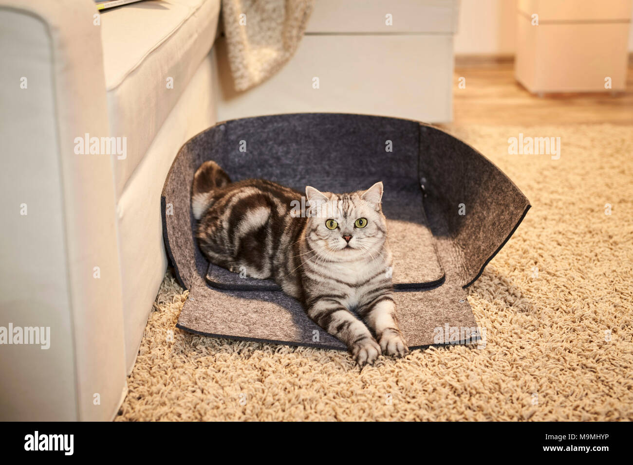 British Shorthair cat. Tabby adult lying in an opened pet bed made of felt. Germany Stock Photo