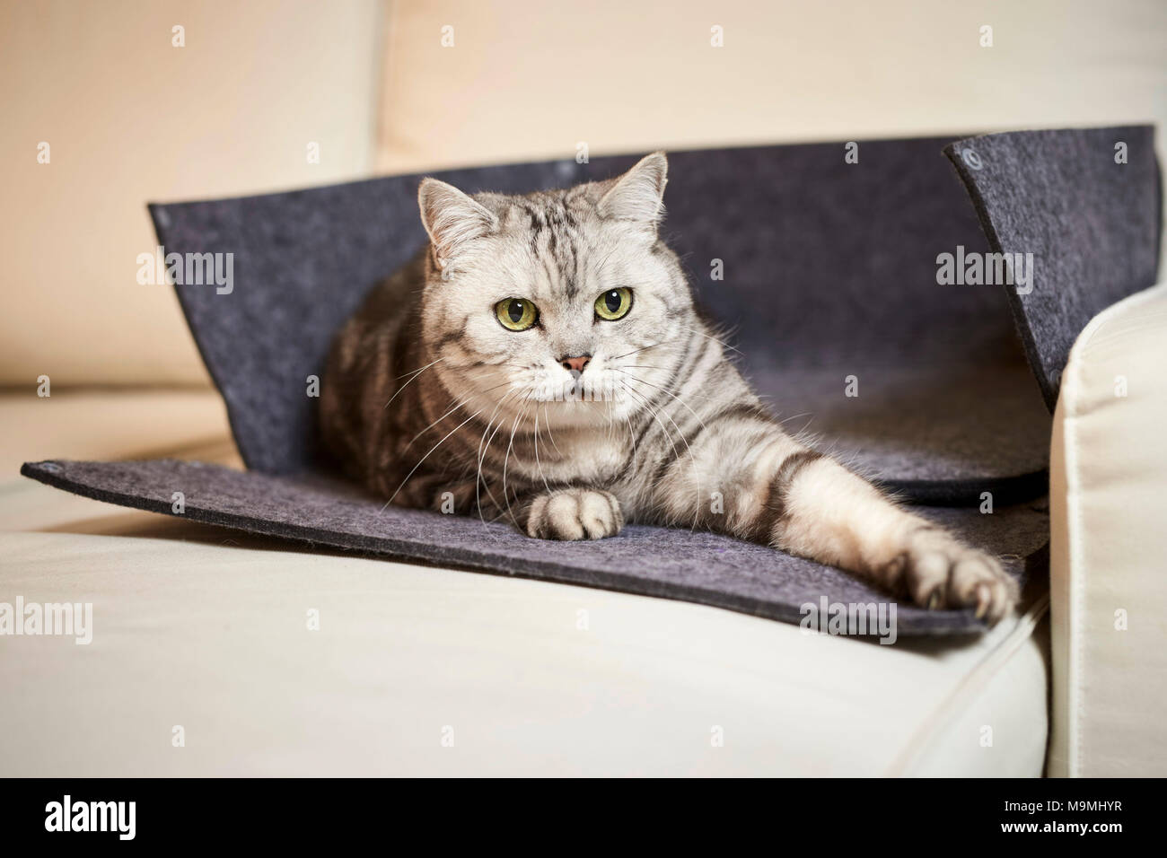 British Shorthair cat. Tabby adult lying in an opened pet bed made of felt. Germany - Stock Image