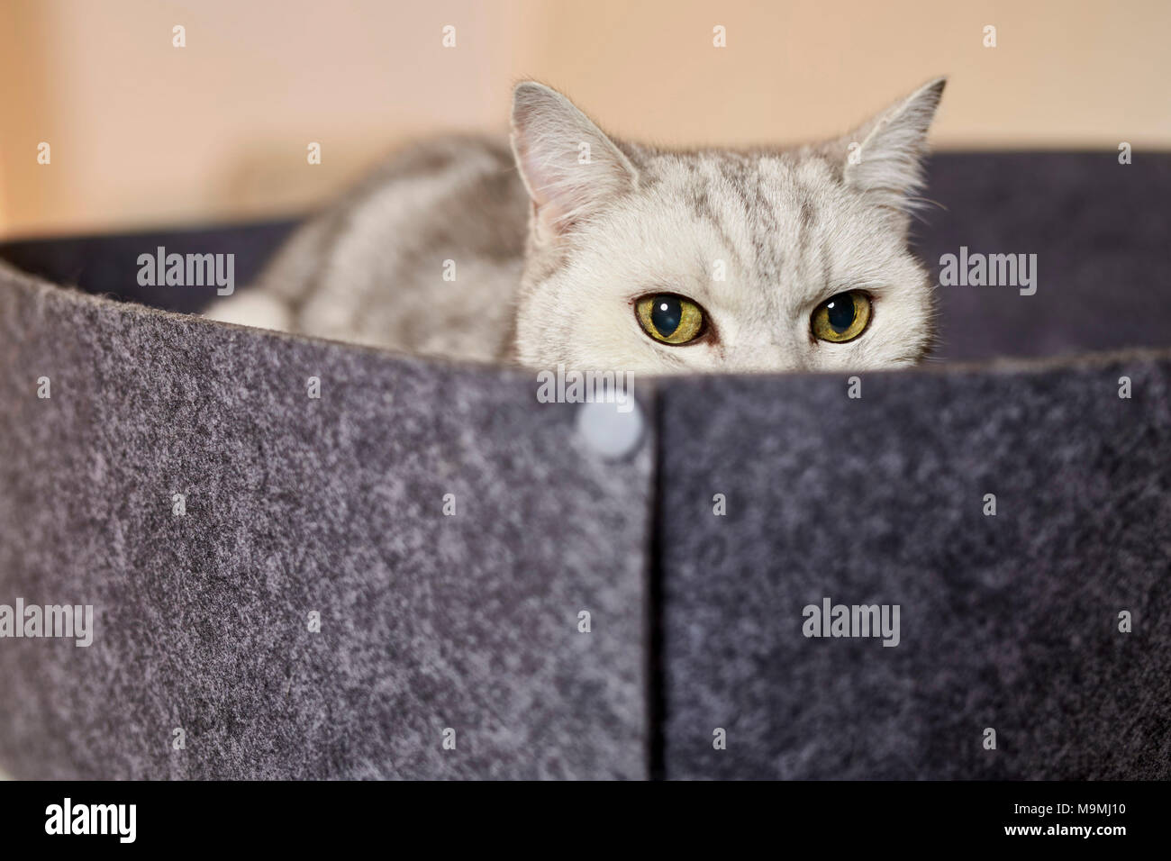 British Shorthair cat. Tabby adult lying pet bed made of felt. Germany - Stock Image