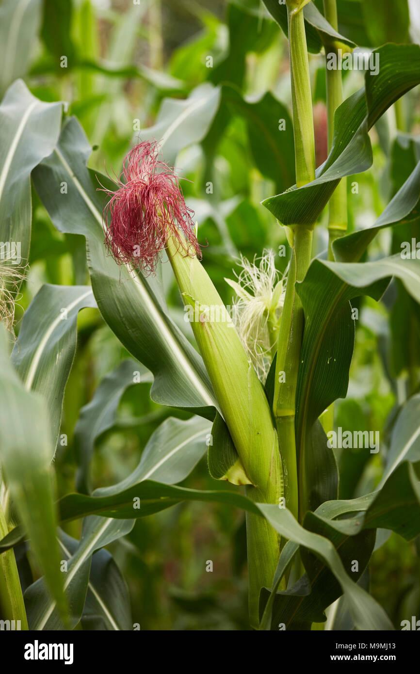 Maize, Corn (Zea mays). Ear on a stalk. Germany - Stock Image