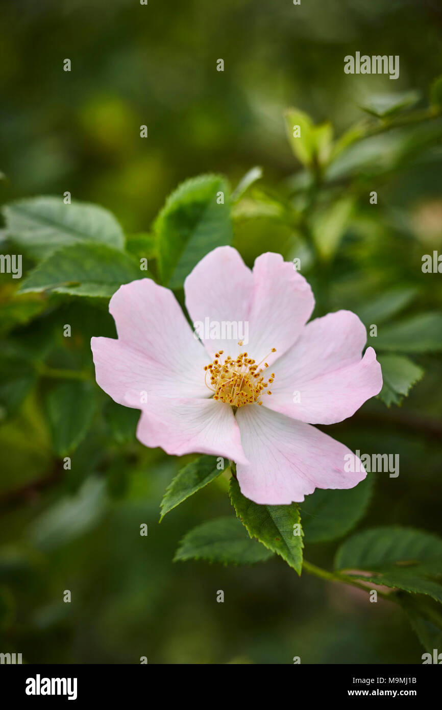 Common Briar, Dog Rose (Rosa canina), flower. Germany Stock Photo