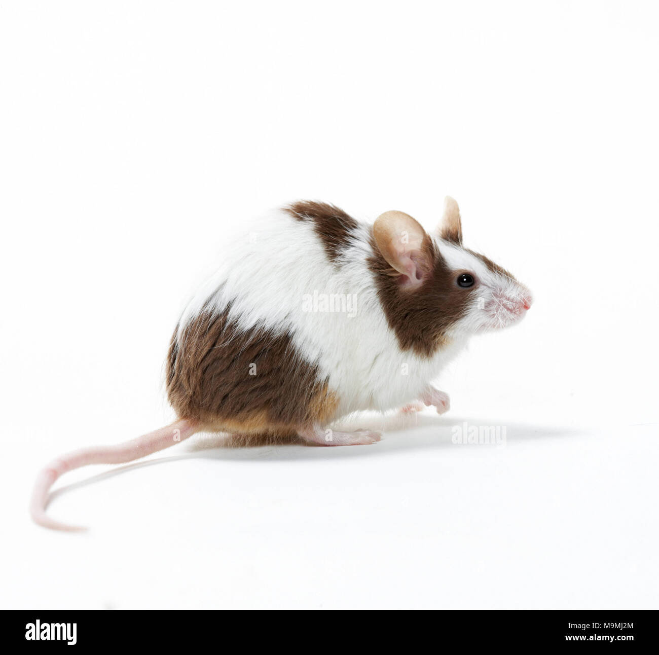 Fancy Mouse. Bicoloured adult sitting on its haunches. Studio picture against a white background Stock Photo