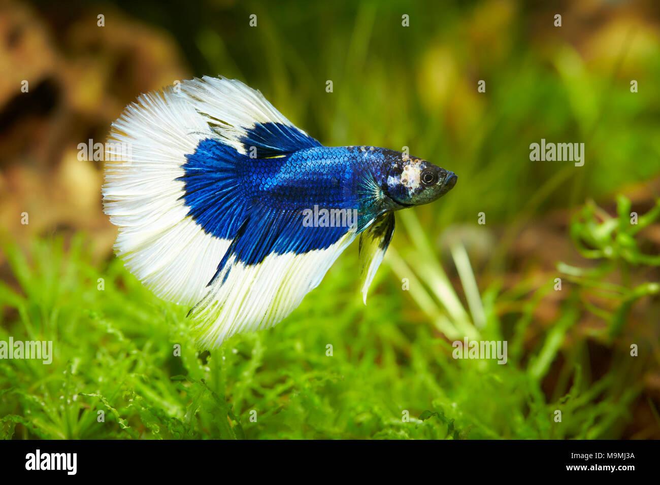 Siamese Fighting Fish (Betta splendens). Male in an aquarium. Germany. - Stock Image