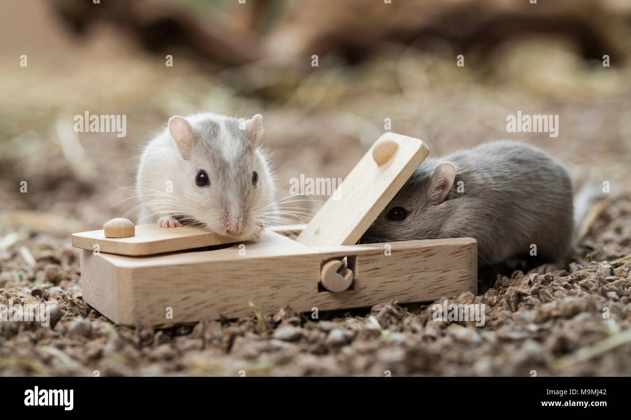 Domesticated Gerbil (Meriones unguiculatus). Two adults at toy, which release food when handled. Germany - Stock Image