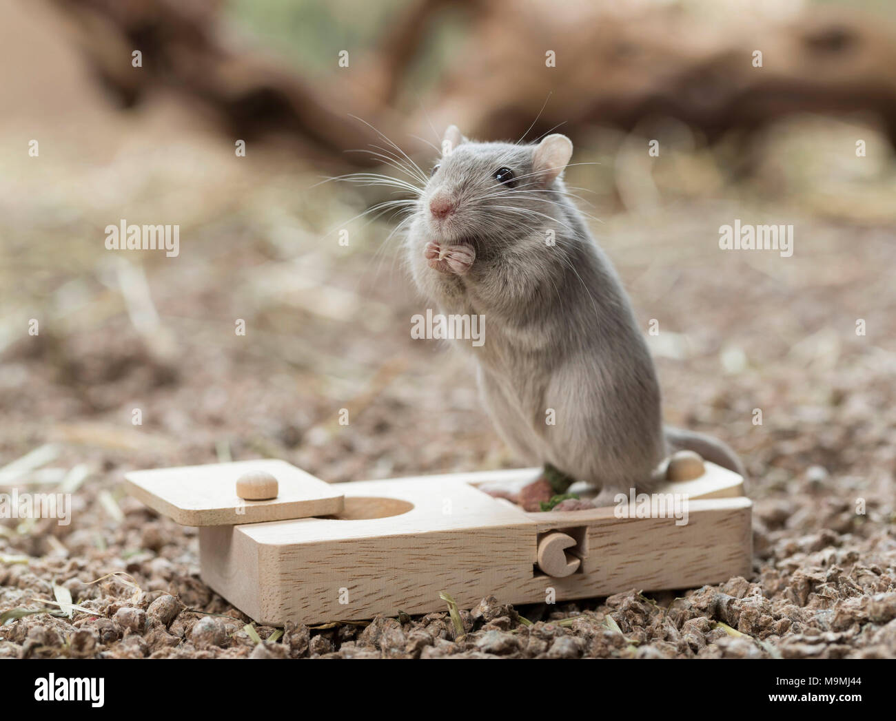 Domesticated Gerbil (Meriones unguiculatus). Adult at toy, which release food when handled. Germany - Stock Image
