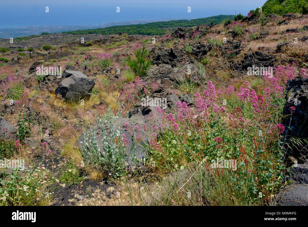 Flowering vegetation on lava fields, volcano Etna, Via Etna, province of Catania, Silzilia, Italy - Stock Image