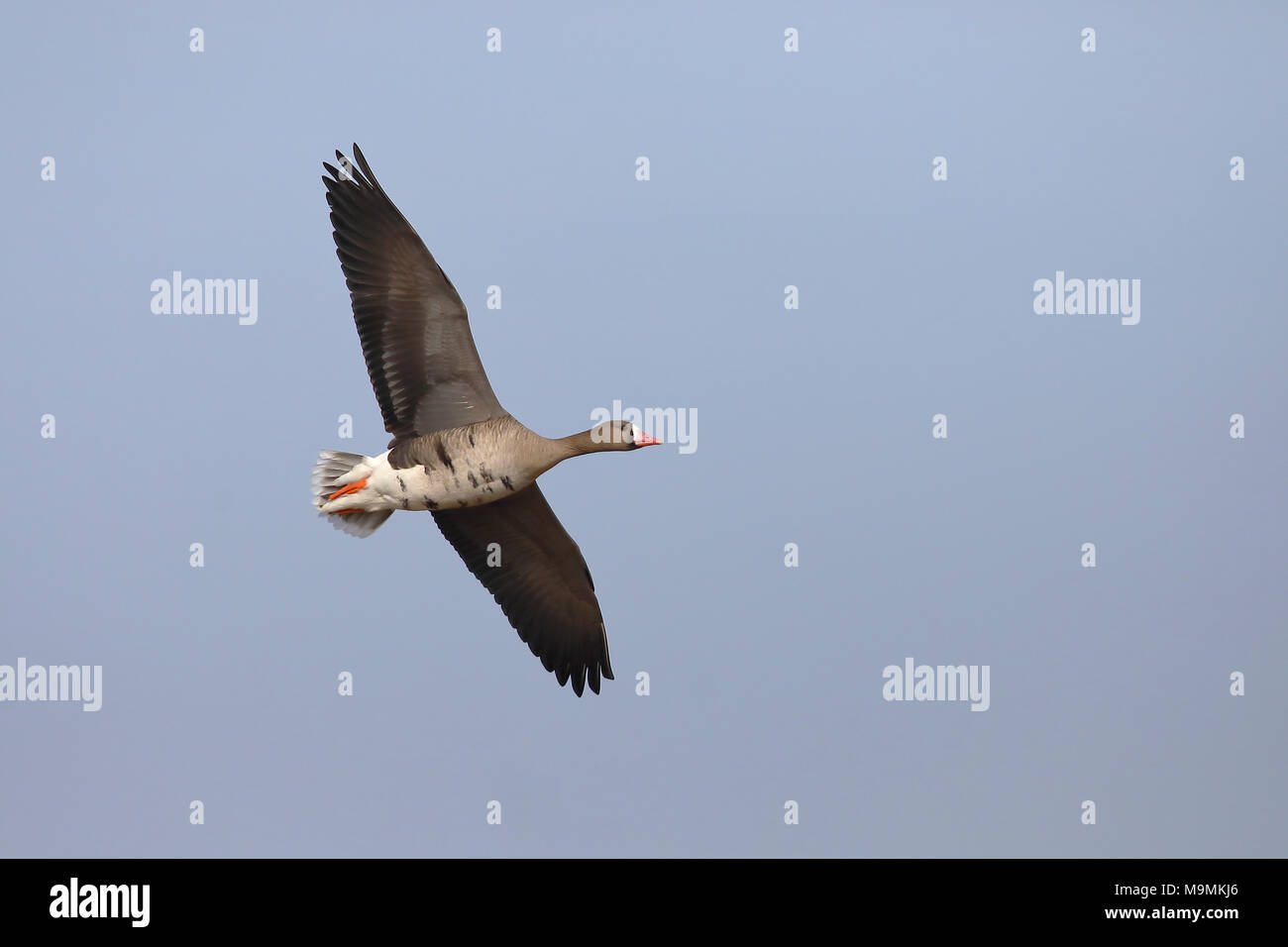 Greater white-fronted goose (Anser albifrons) in flight, Bislicher Insel, North Rhine-Westphalia, Germany - Stock Image