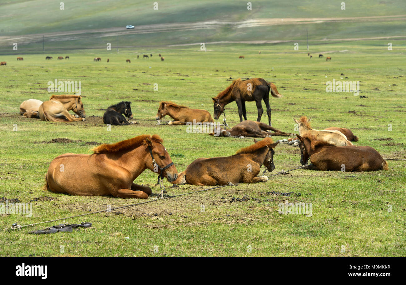 Foals lie tied up in the steppe and wait for the mares to suckle, near Erdenet, Mongolia - Stock Image