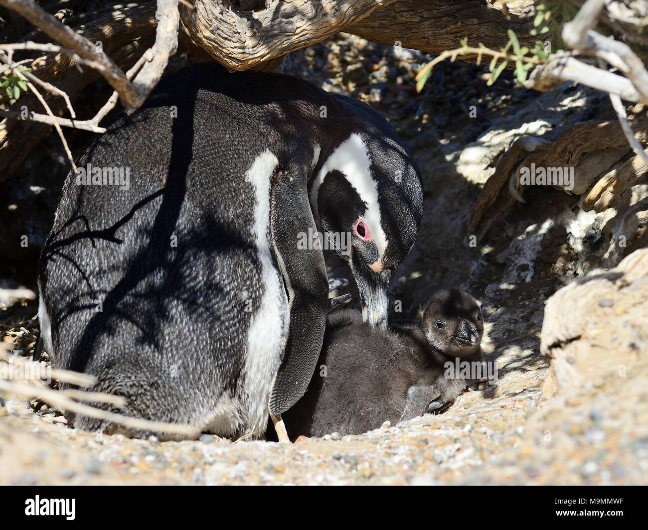 Magellanic penguin (Spheniscus magellanicus), adult animal animal with chicks at breeding burrow, Punta Tombo, Chubut, Argentina Stock Photo
