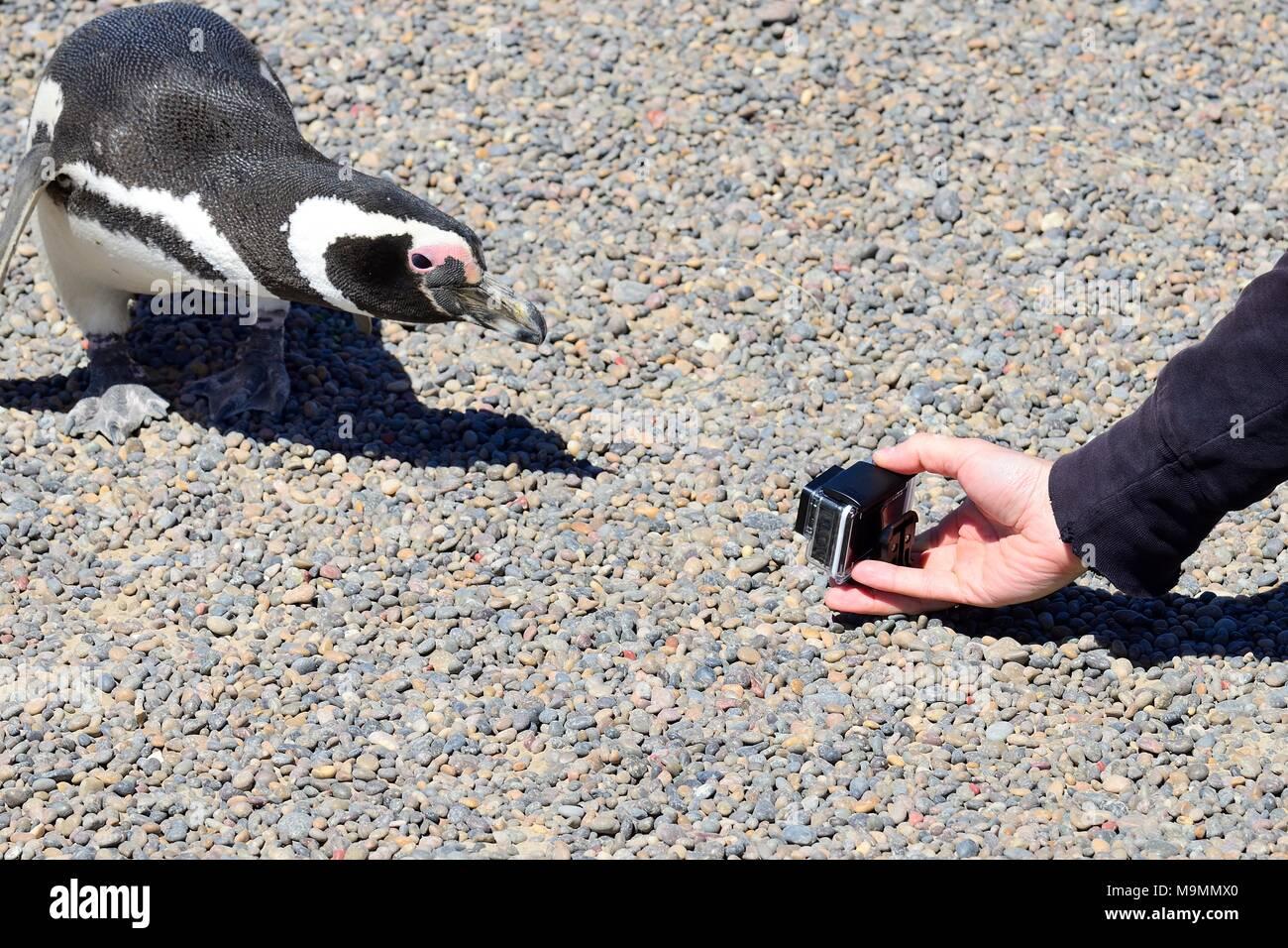 Tourist photographed curious Magellanic penguin (Spheniscus magellanicus), Punta Tombo, Chubut, Argentina - Stock Image