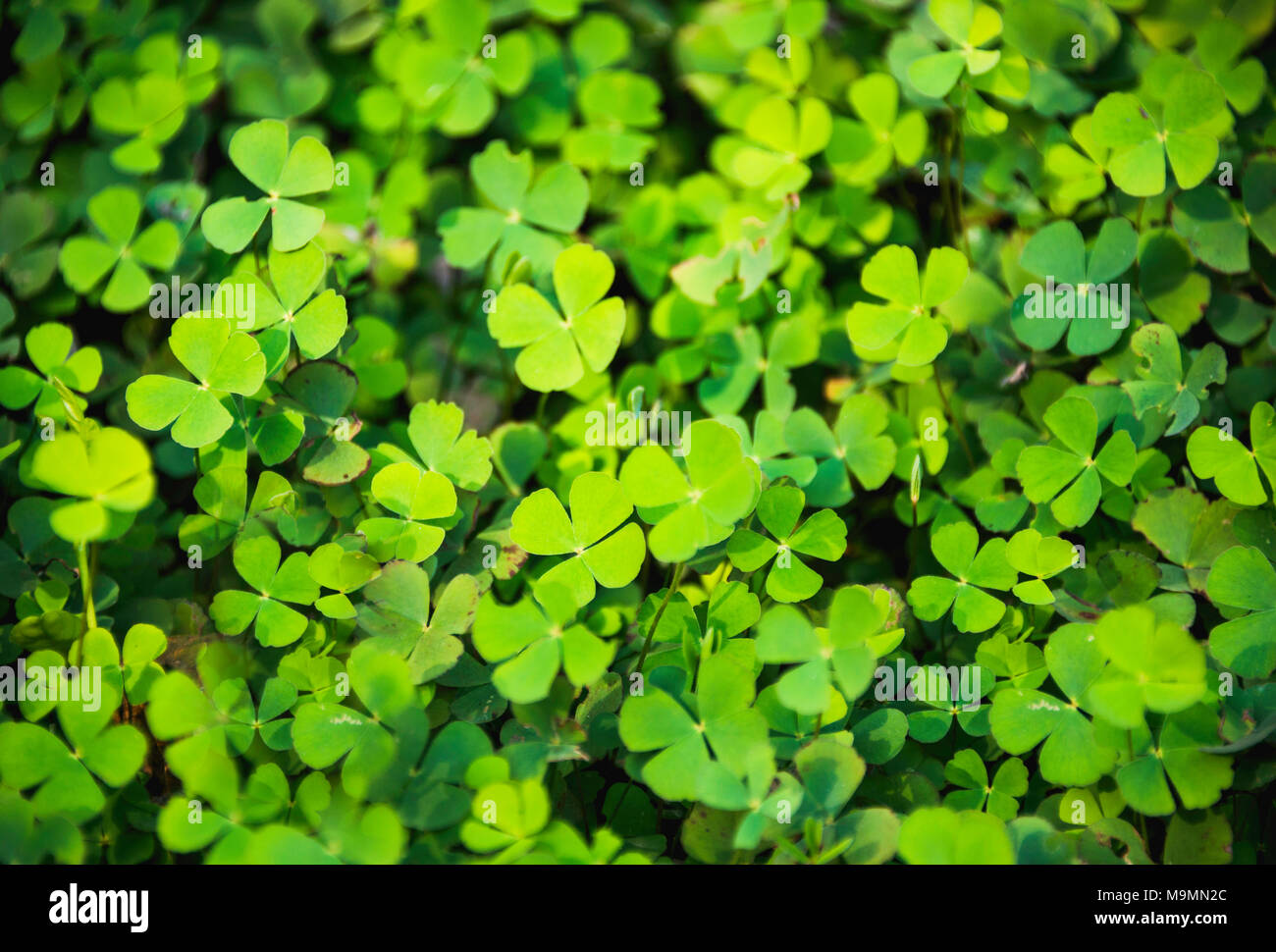 Clover Of Four Leaves Stock Photos Clover Of Four Leaves Stock