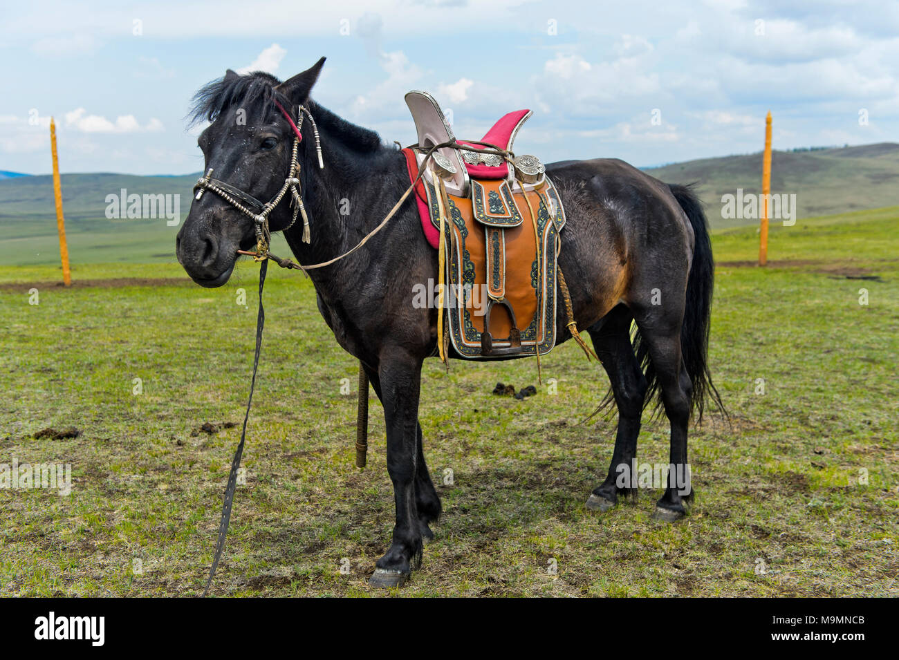 Tamed horse of a nomad with traditional saddle in the steppe, Mongolia - Stock Image