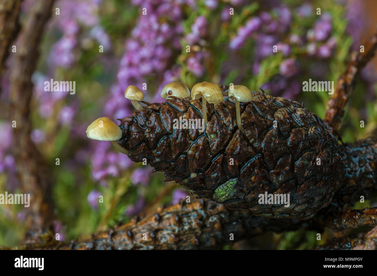 Conifer Cone Caps (Baeospora myosura), on pine cone, Syddanmark, Denmark - Stock Image