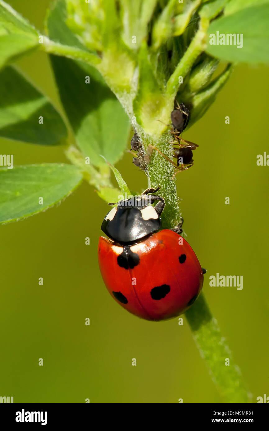 Seven-spott ladybird (Coccinella septempunctata), Tuscany, Italy Stock Photo