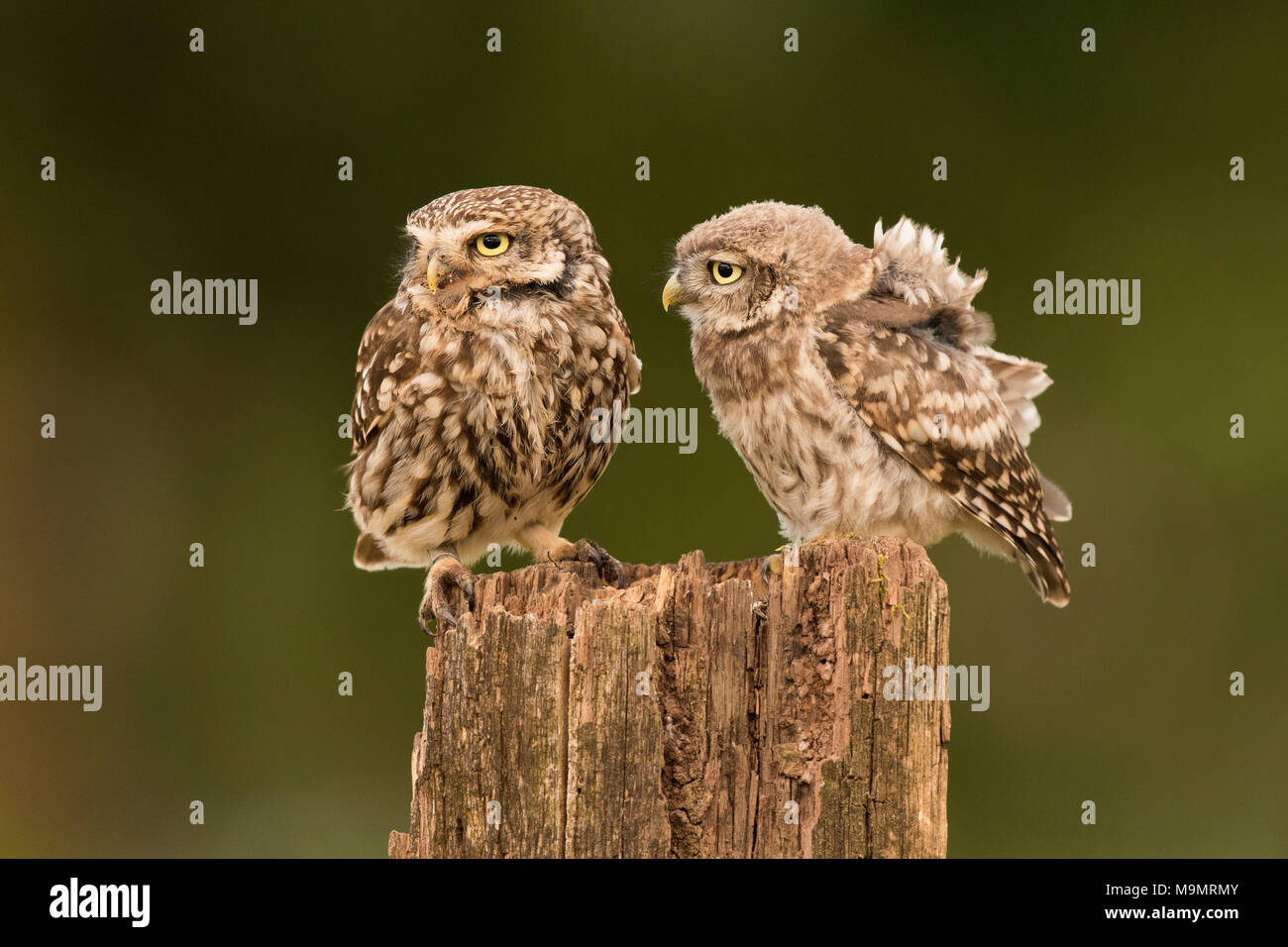 Little owl (Athene noctua), adult bird mit young animal, Rhineland-Palatinate, Germany - Stock Image