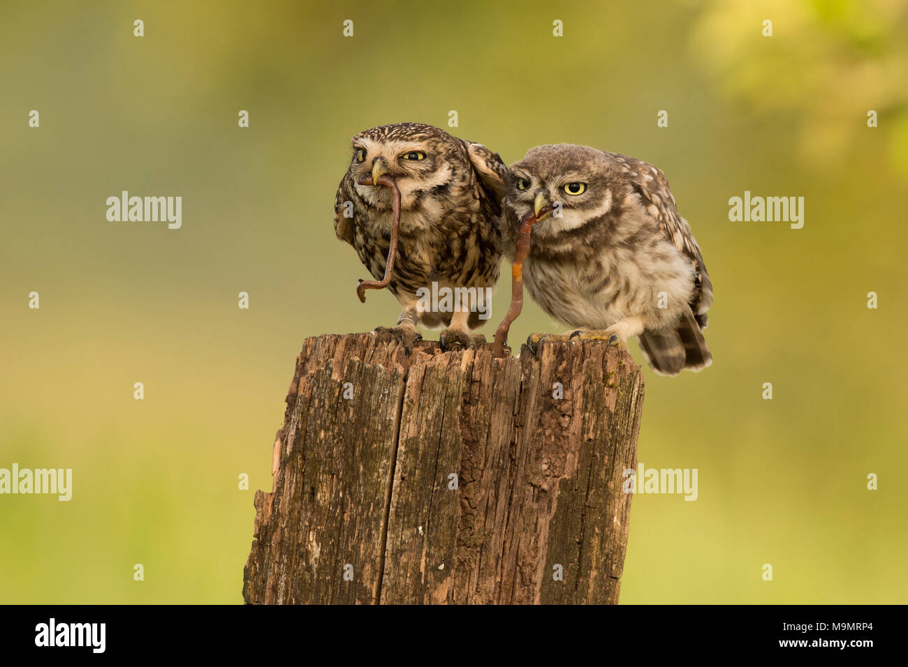 Little owl (Athene noctua), adult bird with young animal, feeding, earthworm as prey, Rhineland-Palatinate, Germany - Stock Image