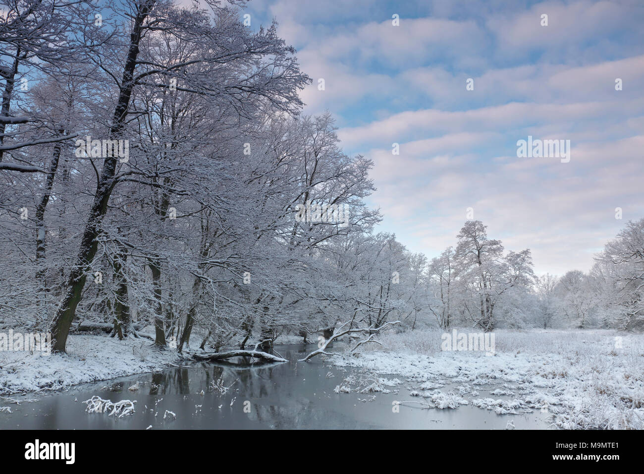Wetland landscape with snow-covered trees in winter, Biosphere Reserve Middle Elbe, Dessau-Roßlau, Saxony-Anhalt, Germany - Stock Image