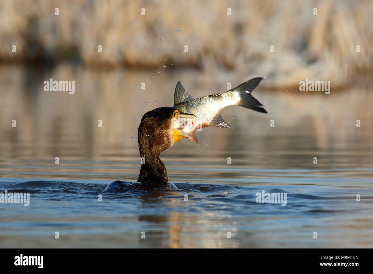 Great cormorant (Phalacrocorax carbo) with fish as prey, Biosphere Reserve Middle Elbe, Dessau-Roßlau, Saxony-Anhalt, Germany - Stock Image