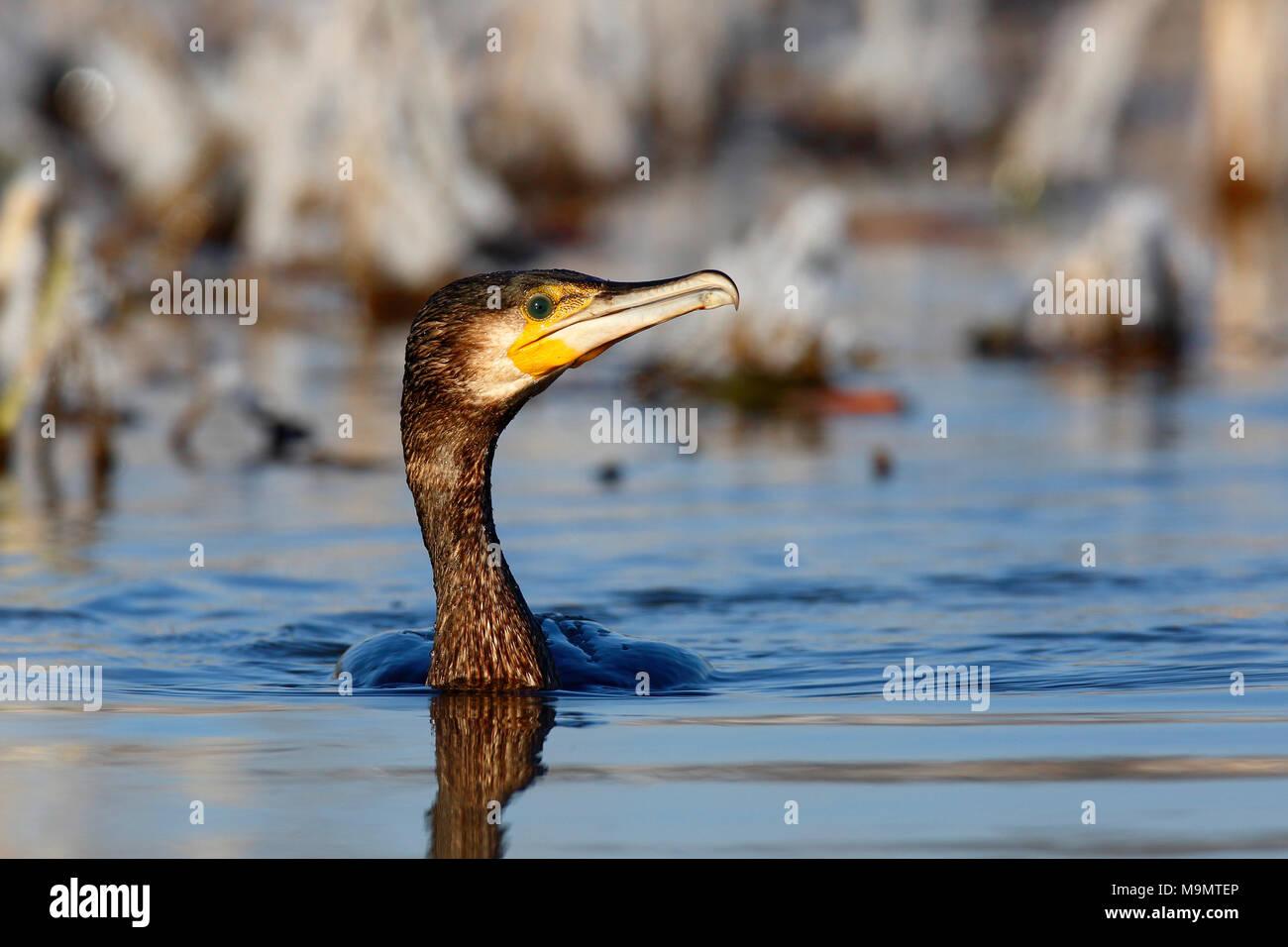 Great cormorant (Phalacrocorax carbo) in water, animal portrait, Biosphere Reserve Middle Elbe, Dessau-Roßlau, Saxony-Anhalt - Stock Image