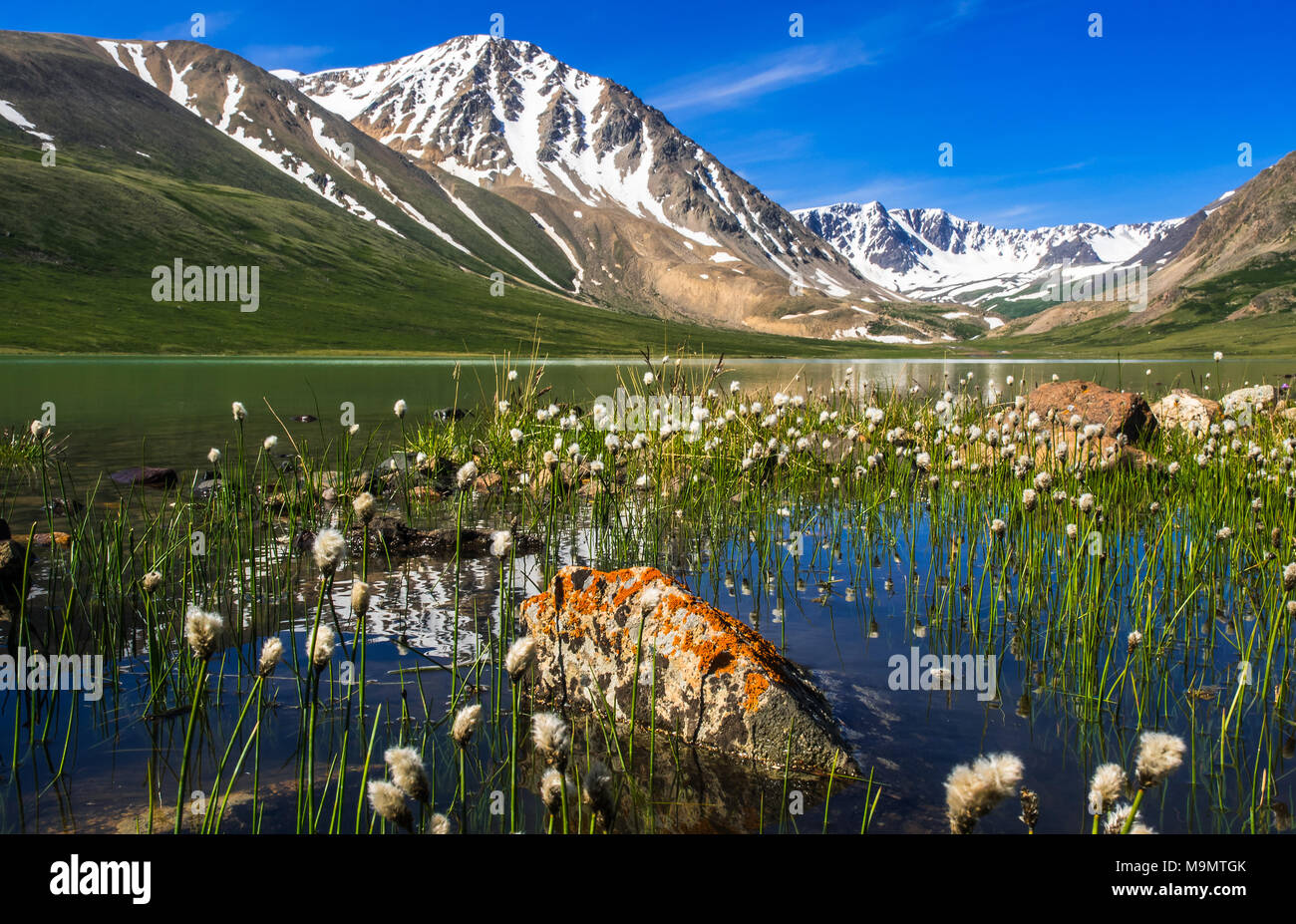 Blooming vegetation, Cottongrass (Eriophorum) and lake, snow-covered Altai mountains in the back, Mongolia - Stock Image