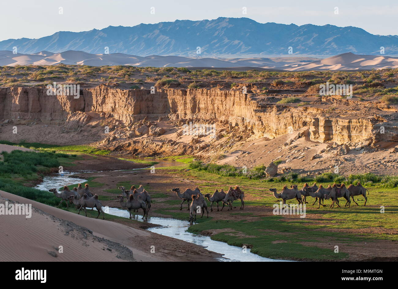Flock of camels (Camelidae) drinking at a creek, Gobi desert, Mongolia - Stock Image