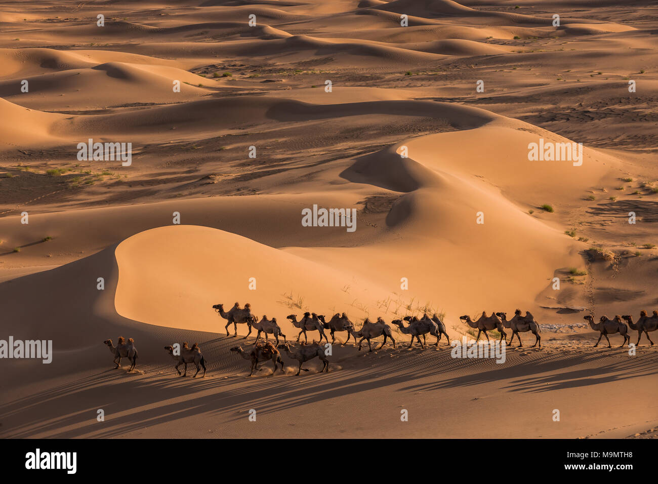 Flock of camels (Camelidae) walking through the vastness of sand dunes, Gobi desert, Mongolia - Stock Image