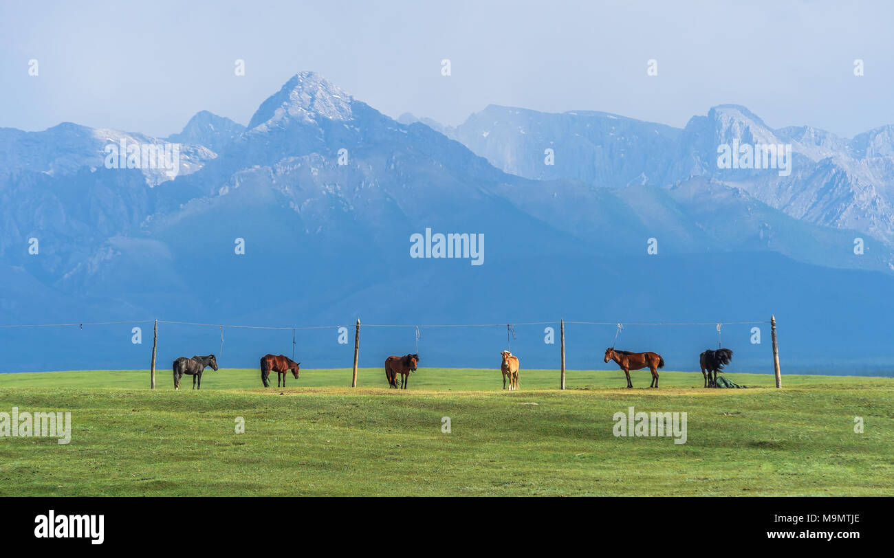 Flock of horses leashed on a pasture, Mongolia - Stock Image