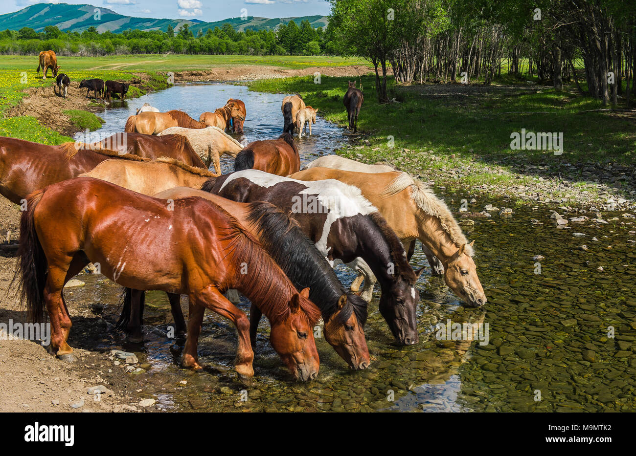 Flock of horses drinking water from a river, Mongolia - Stock Image