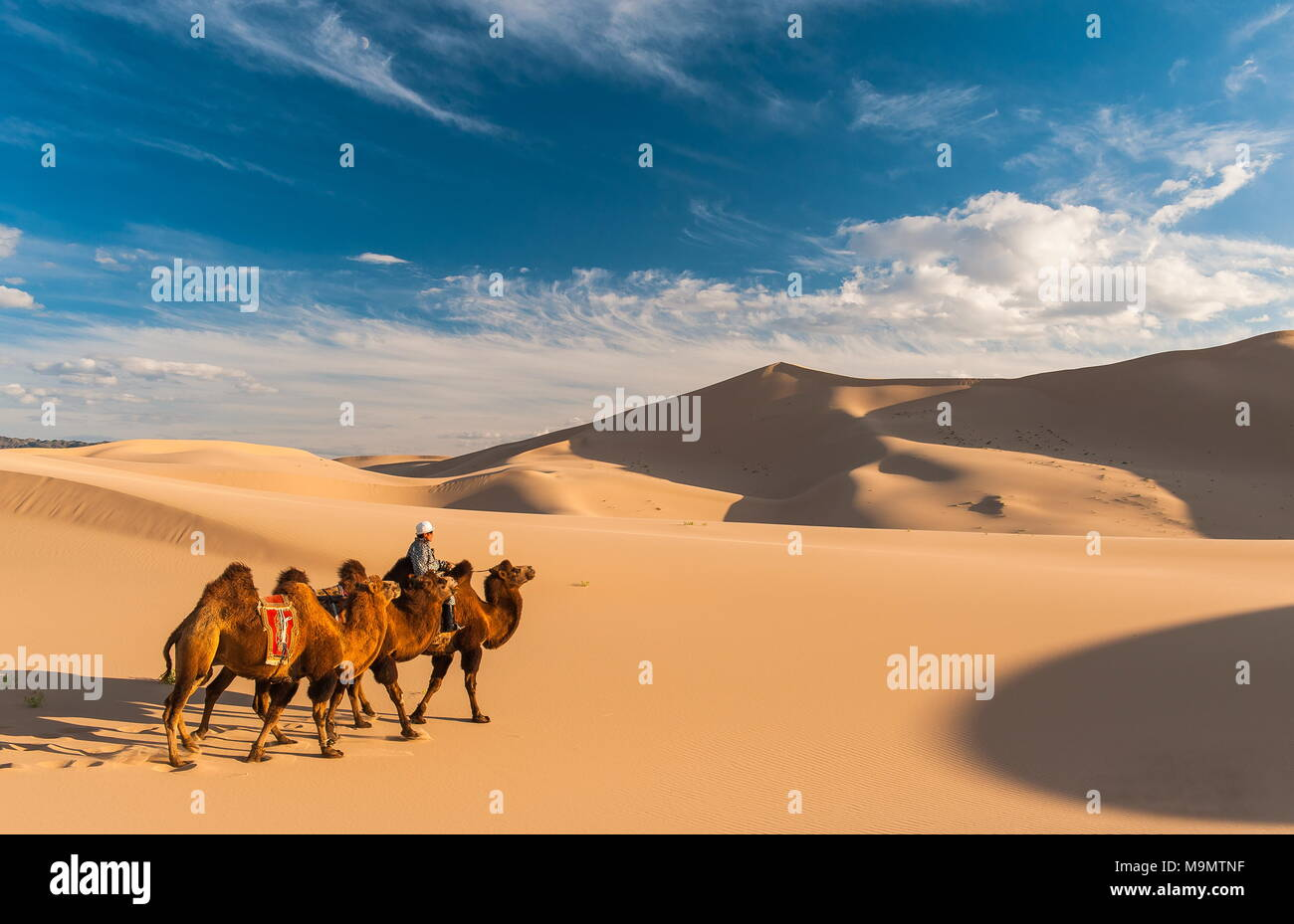 Nomad with camels (Camelidae) riding through the sand dunes, Gobi desert, Mongolia - Stock Image