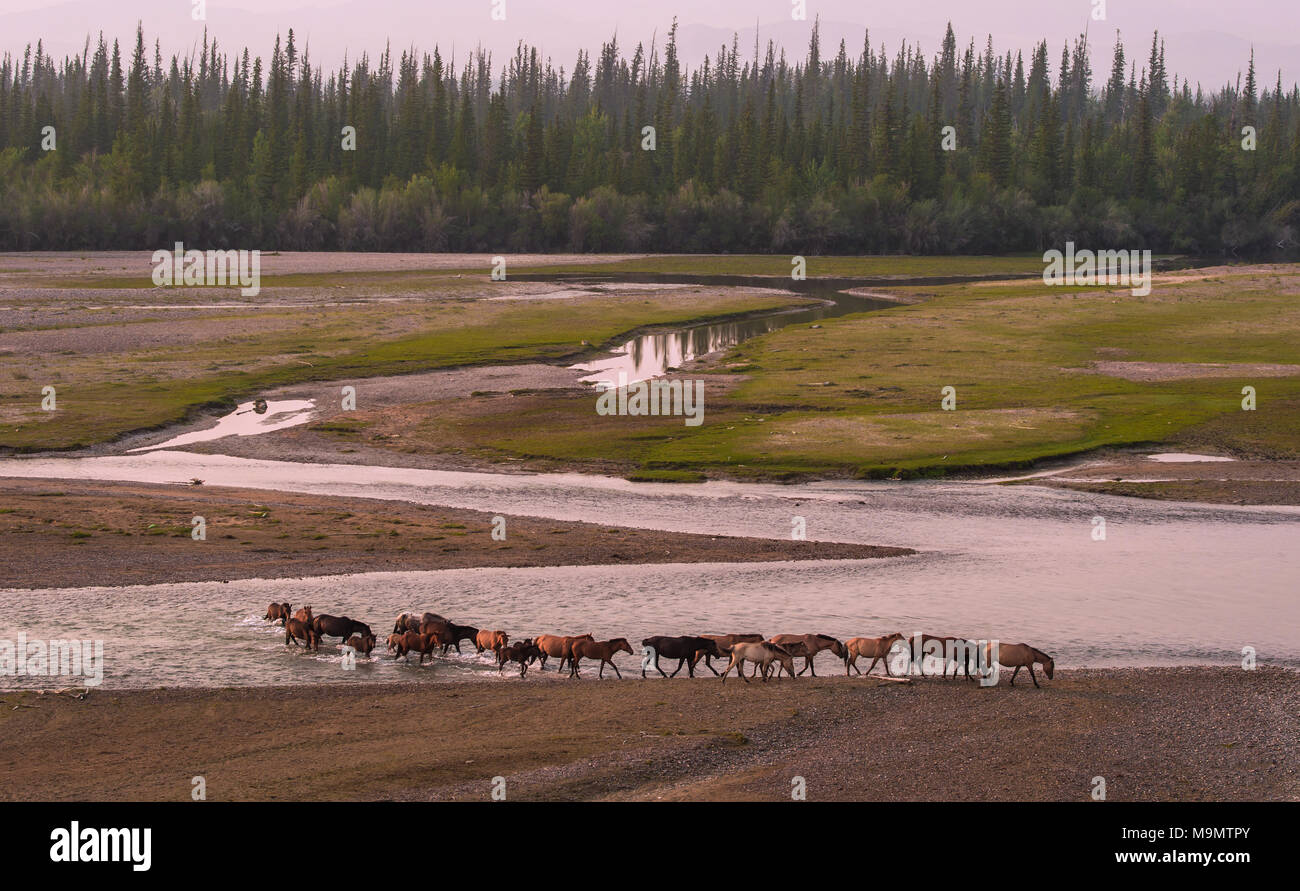 Flock of wild horses crossing the riverbed of Tuul river, Gorkhi-Terelj National Park, Mongolia - Stock Image
