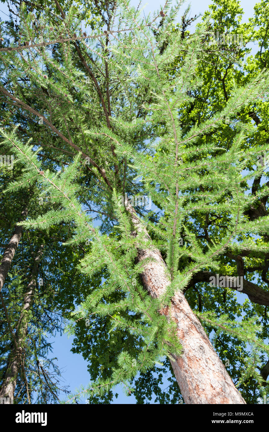 Western Larch, Kaskadlärk (Larix occidentalis) - Stock Image