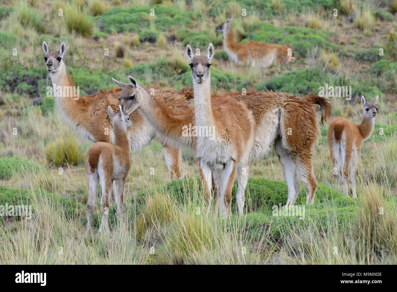 Flock of Guanacos (Lama guanicoe) with young animals, Valle Chacabuco, Región de Aysén, Chile - Stock Image