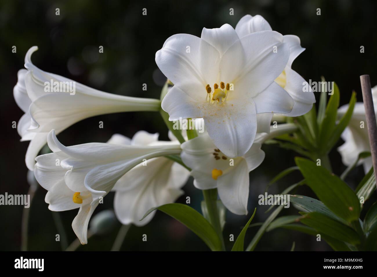 Trumpet Lily, Kungslilja (Lilium regale) Stock Photo