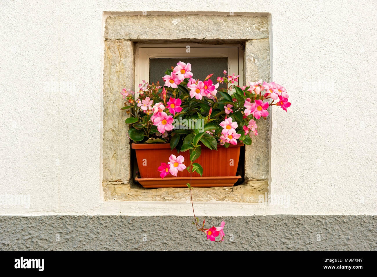 Flower box with flowering pink Dipladenia (Mandevilla sanderi), in a window alcove, Old Town, Agnone, Molise, Italy - Stock Image