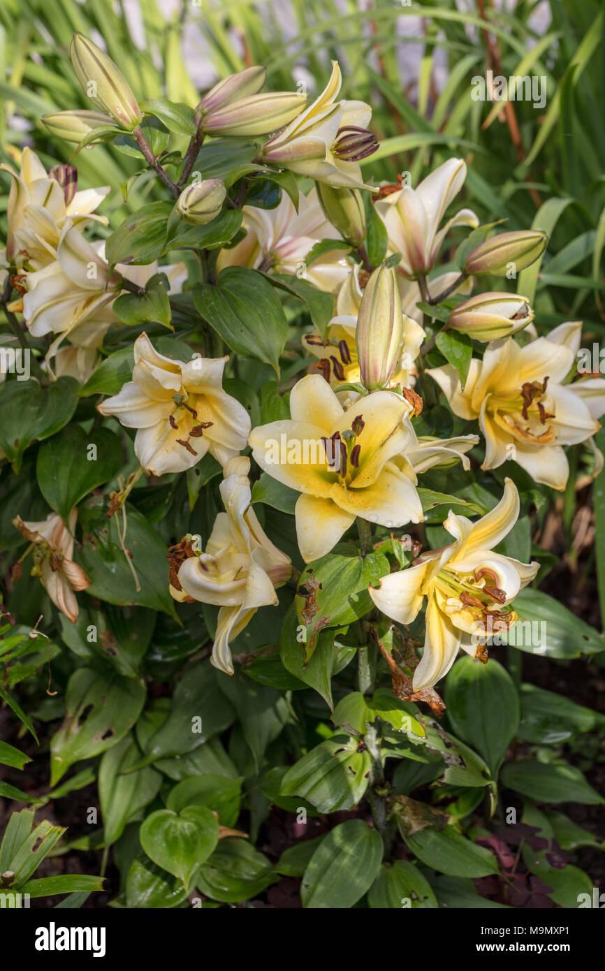 'Time Out' Oriental hybrid, Orientlilja (Lilium hybrid) - Stock Image