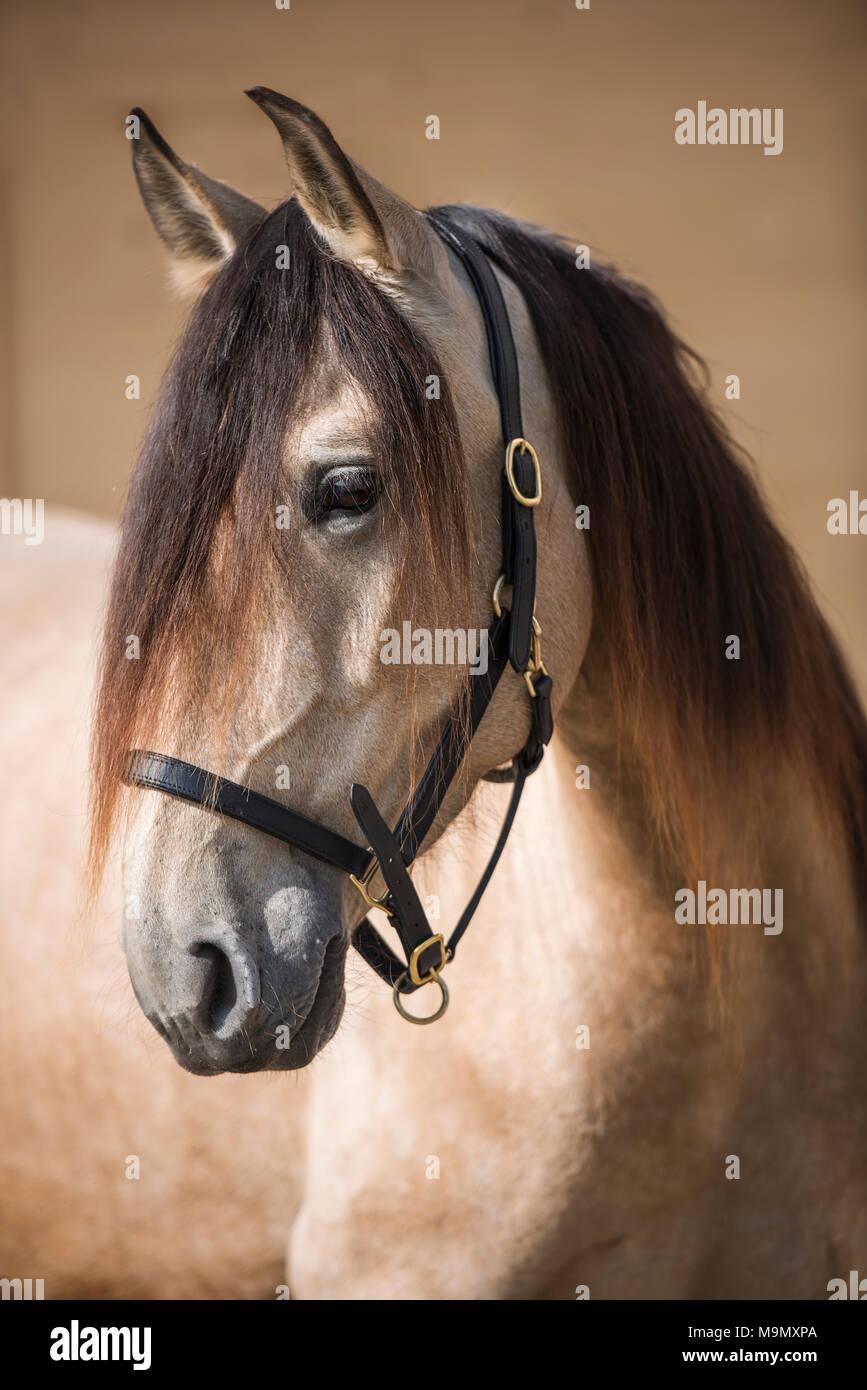 Andalusian horse, Mare (Equus), animal portrait, Switzerland Stock Photo