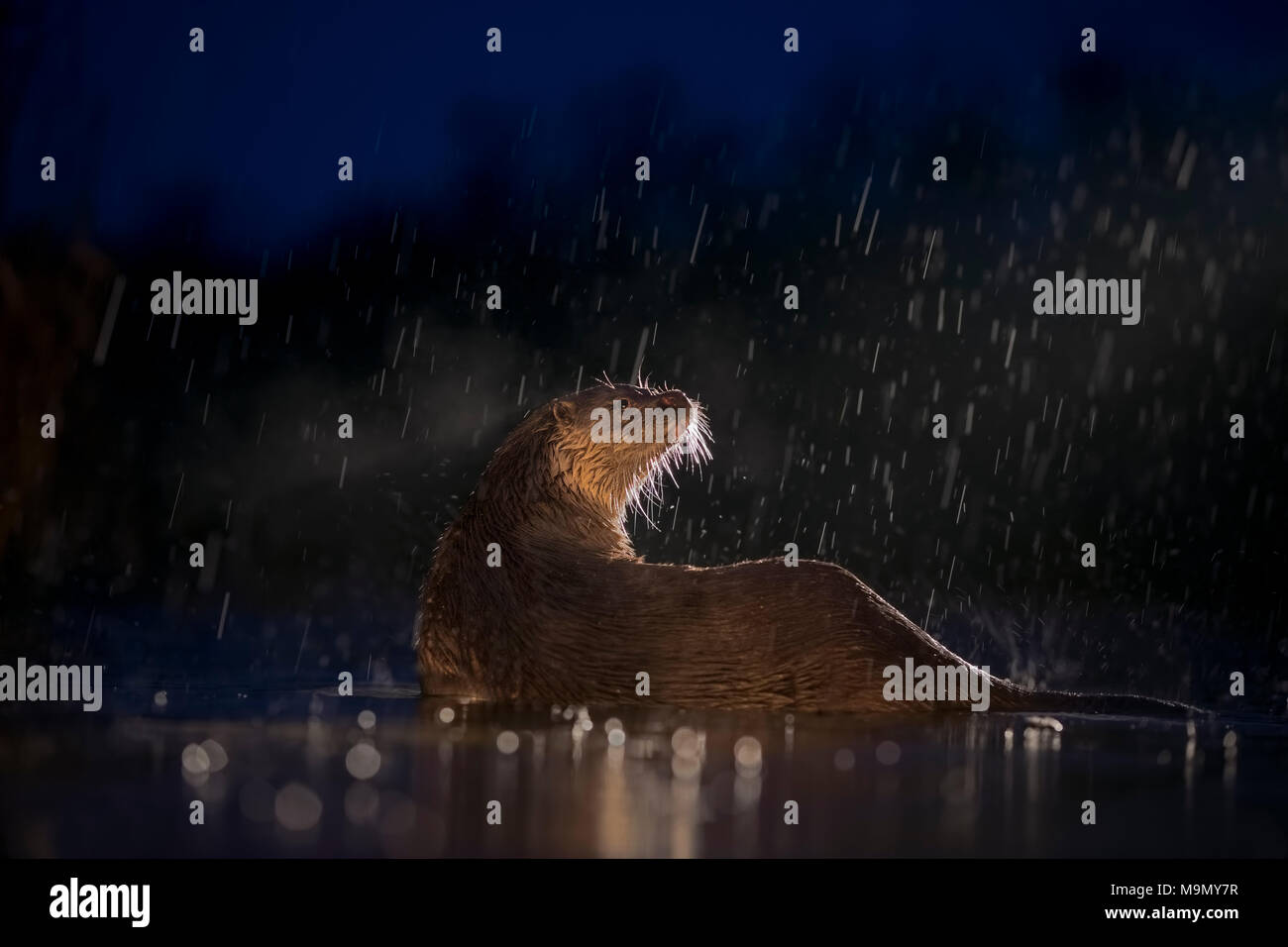 European otter (Lutra lutra) on nocturnal hunting in the water during rain, search for food, National Park Kiskunság, Hungary - Stock Image