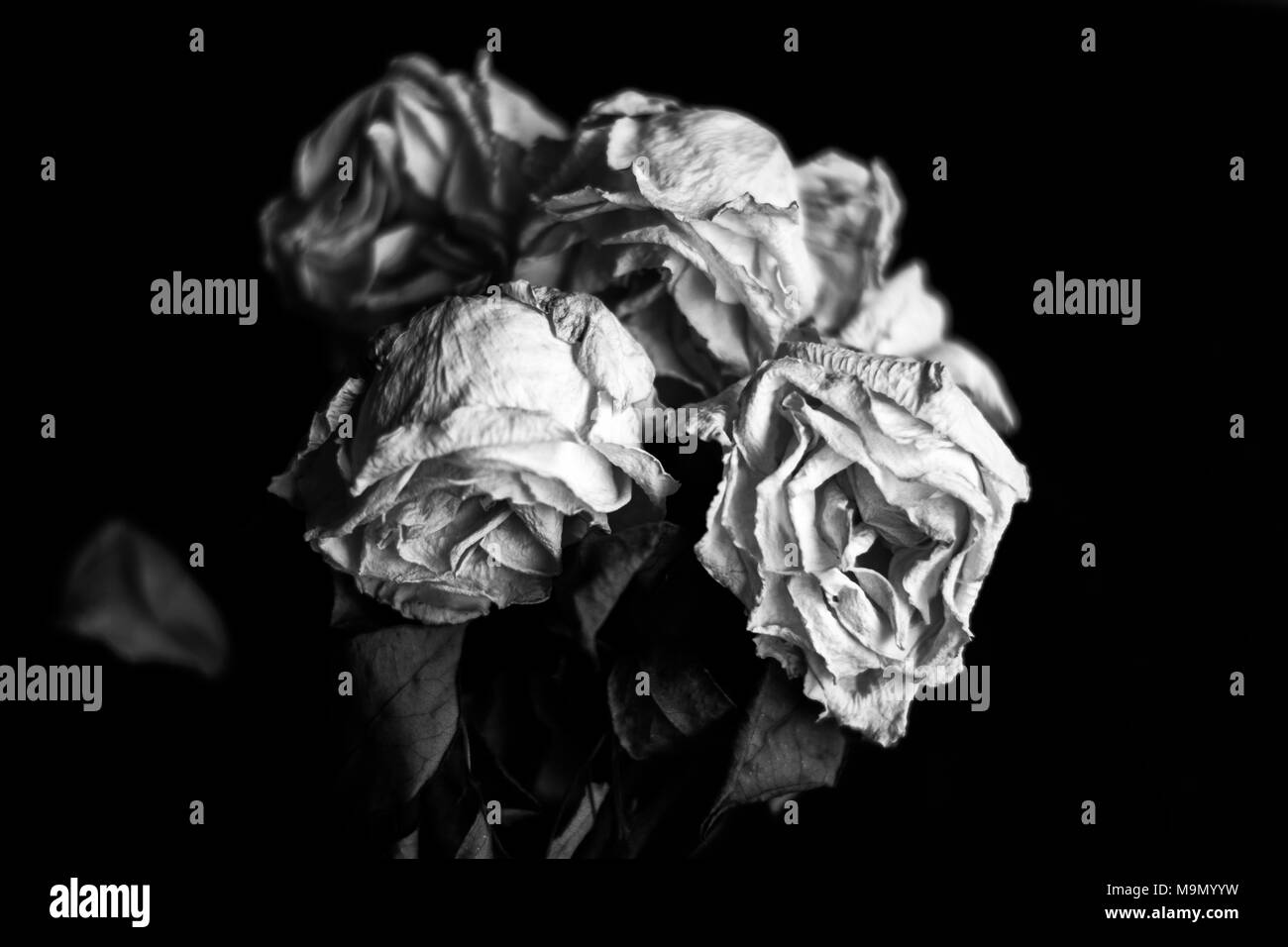 Close Up Of A Bunch Of Withered White Roses On Black Background In