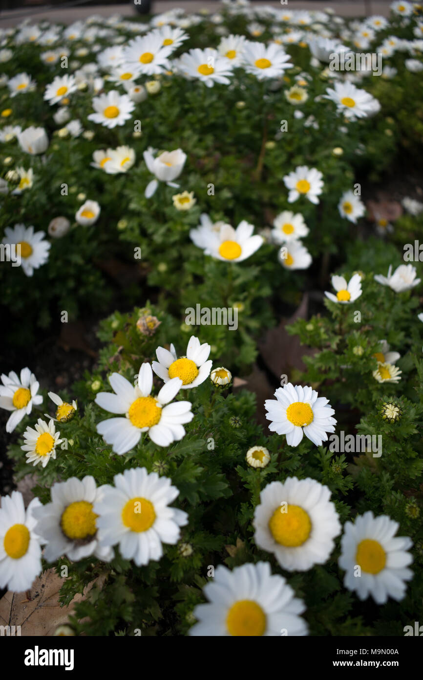 Daisy flower bed stock photos daisy flower bed stock images alamy close up of a bed of daisies flowering on a spring day stock image izmirmasajfo