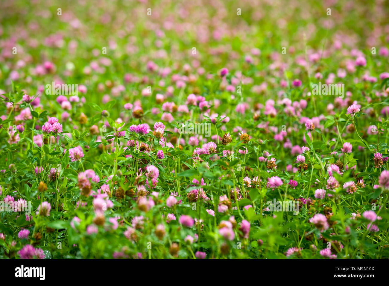 Clover growing in field at Glasbury Powys UK Stock Photo