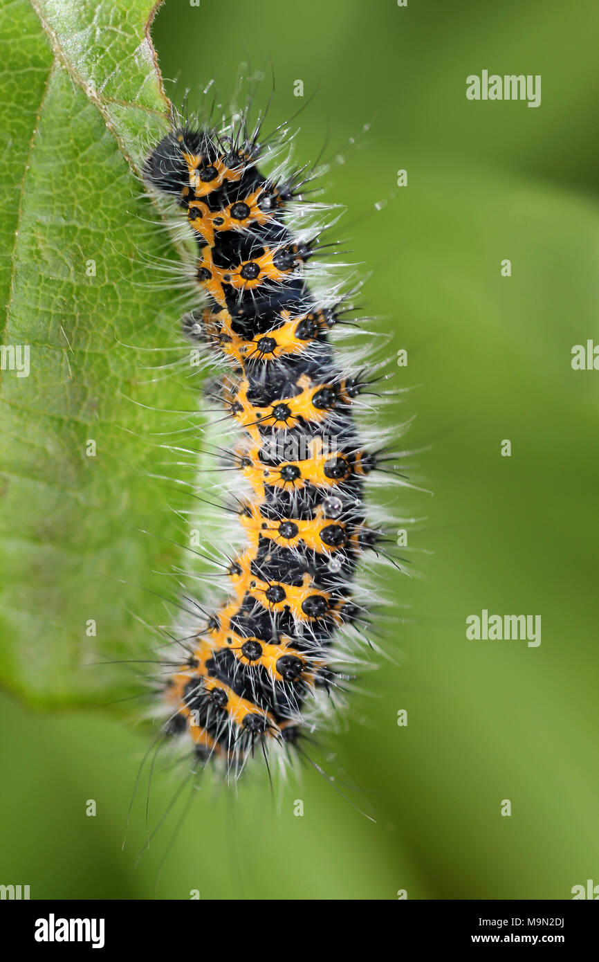 Early Instar Larvae of the Emperor Moth Saturnia pavonia - by the 4th instar stage it has developed the green and black colouration - Stock Image