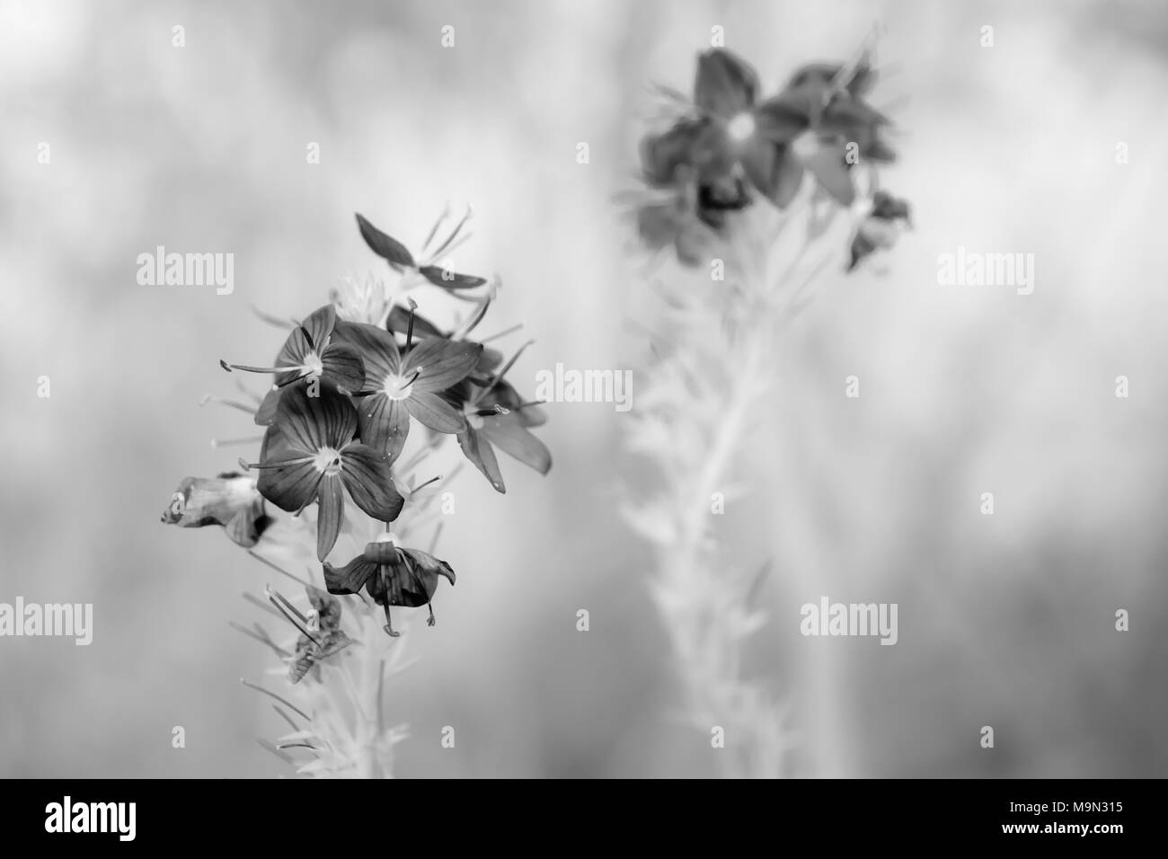Medicinal Flower Black And White Stock Photos Images Alamy