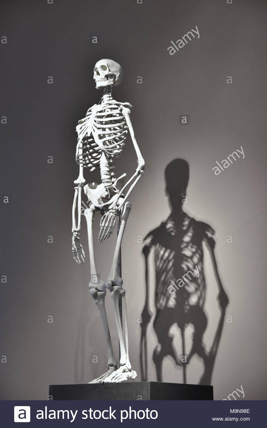 Human skeleton displayed at Museum of Natural History in Berlin Germany Europe. - Stock Image
