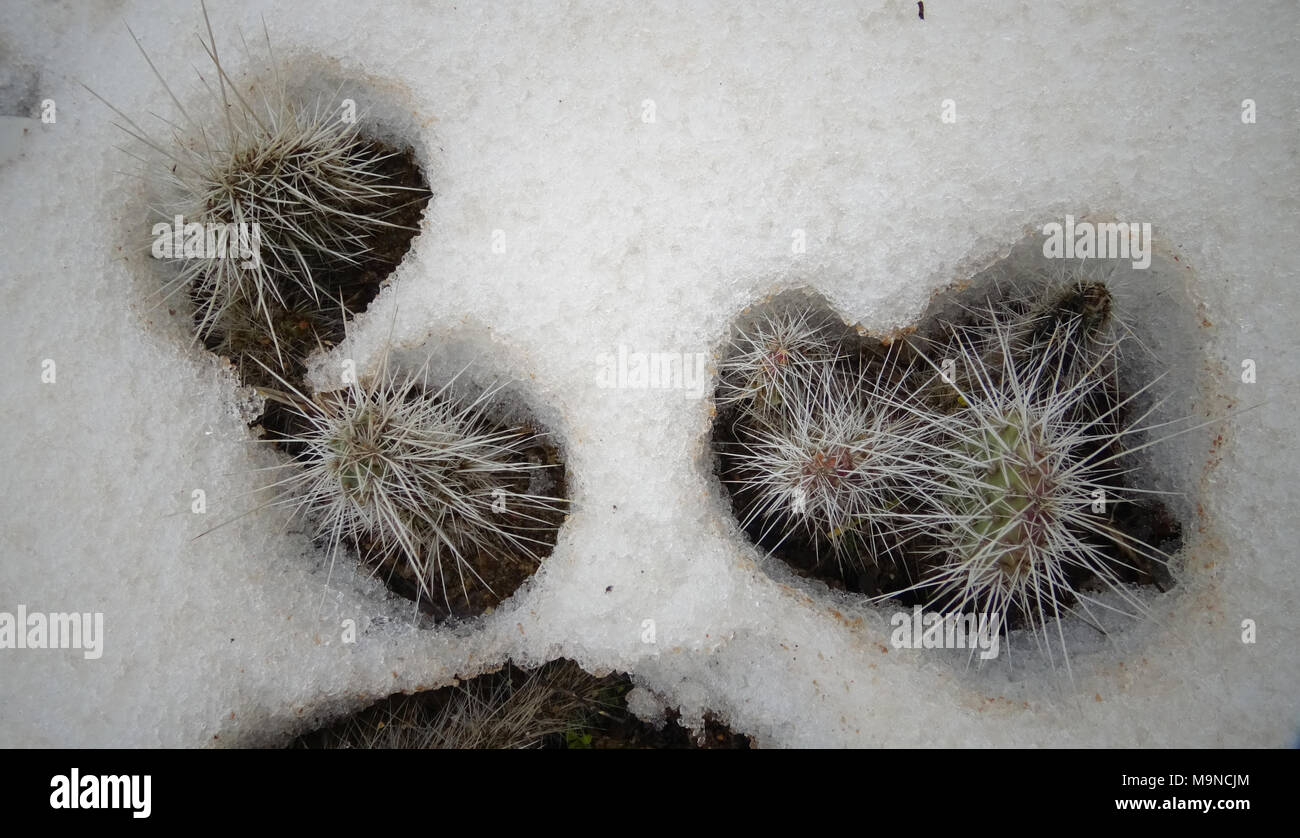 Hibernating in the open ground cacti, in the spring under the snow - Stock Image