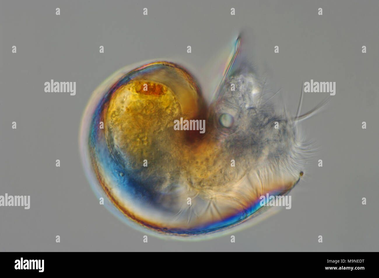 a planktonic veliger larva  from a sea snail - Stock Image