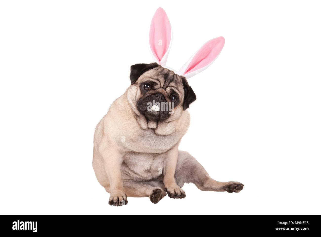 adorable cute pug puppy dog sitting down with easter bunny ears and teeth, isolated on white background - Stock Image