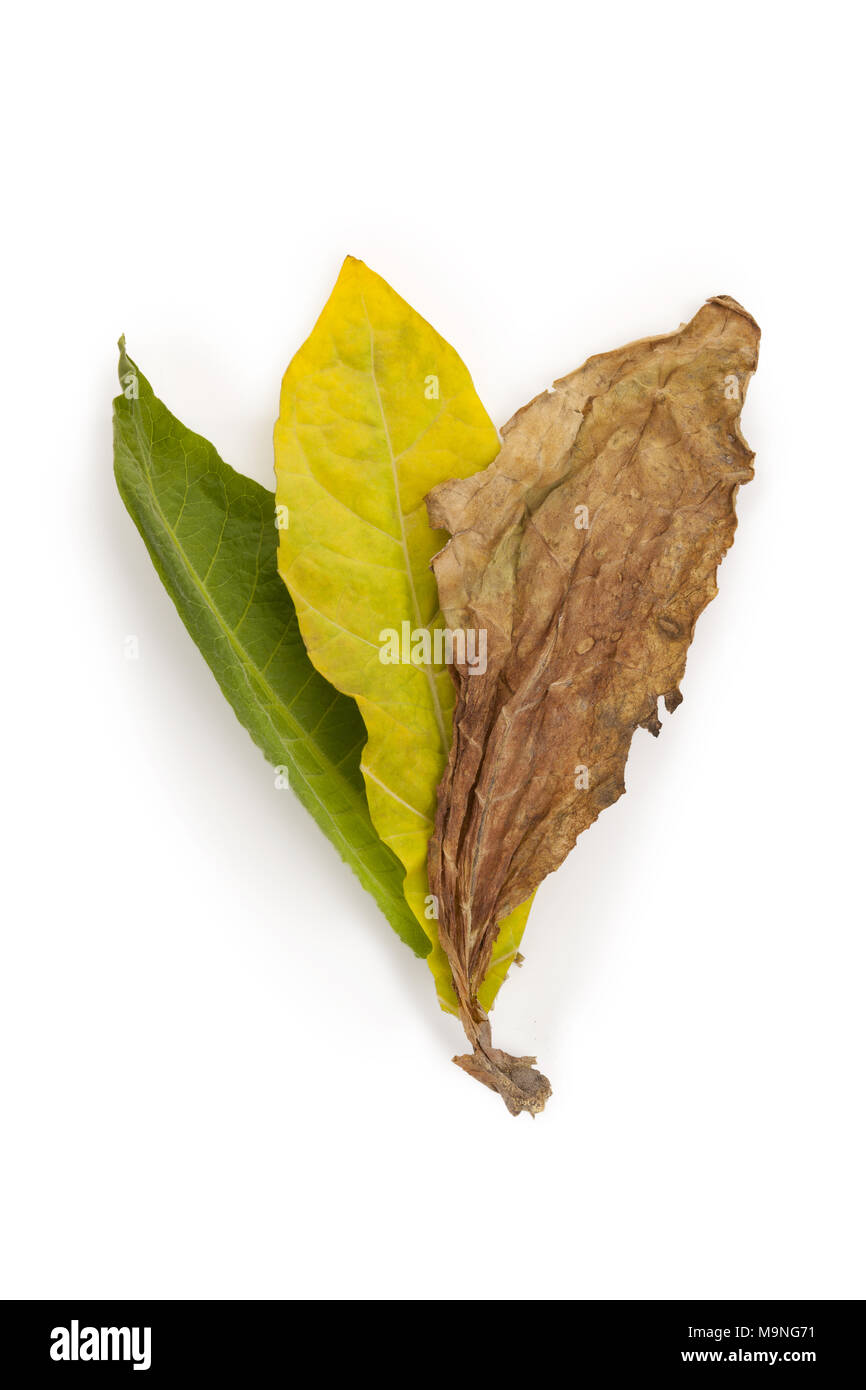 Fresh and dried tobacco leaves from above isolated on white background. - Stock Image